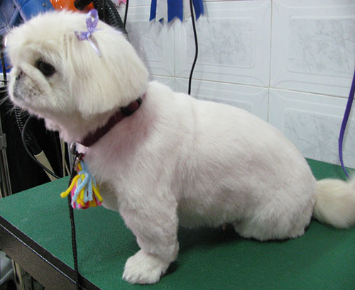 כולם חדשים פקינז - מספרת כלבים בחולון - פריזורה KS-85